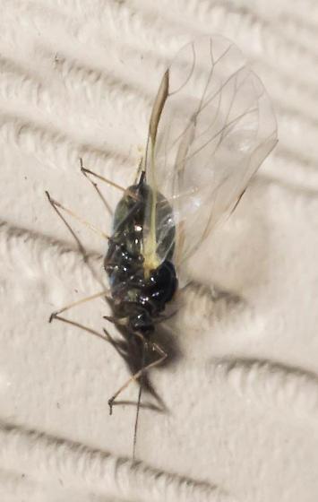 Winged dark aphid
