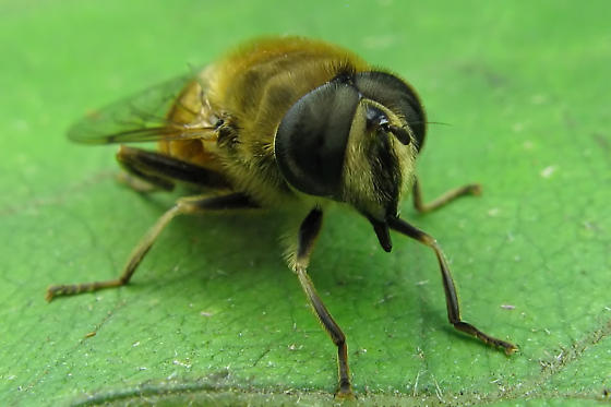 Syrphid Fly - Eristalis tenax
