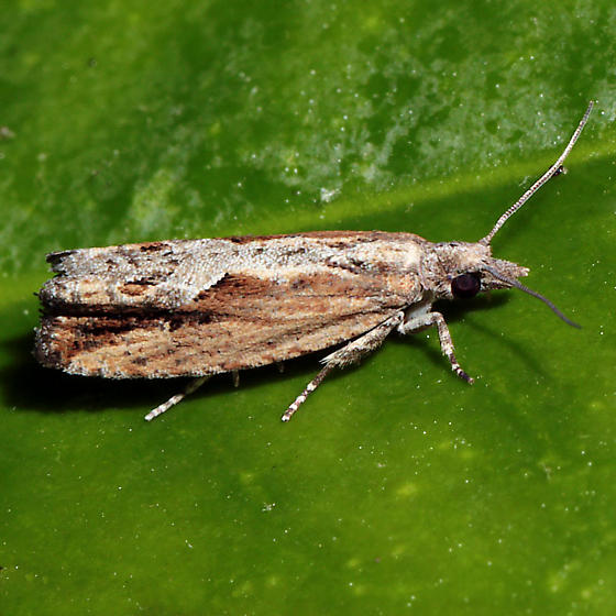 Strepsicrates smithiana