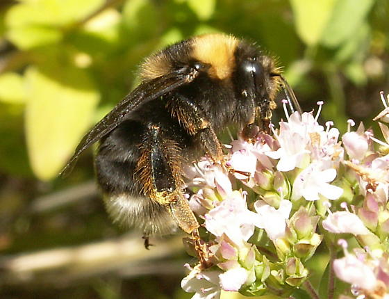 Bee to ID please. - Bombus occidentalis - female
