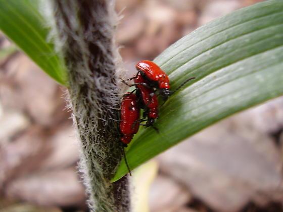 Red Beetle? - Lilioceris lilii