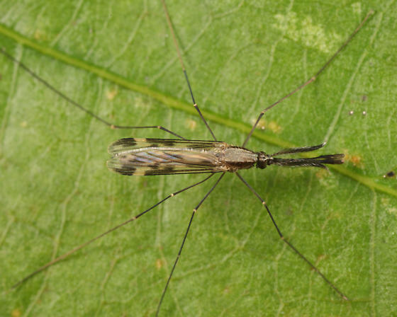 Mosquito  - Anopheles punctipennis - male