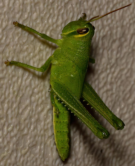 American Bird Grasshopper nymph? - Schistocerca
