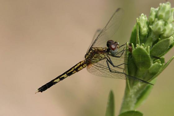 Little Blue Dragonlet female - Erythrodiplax minuscula - female