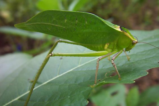Giant Katydid - Stilpnochlora couloniana - BugGuide.Net