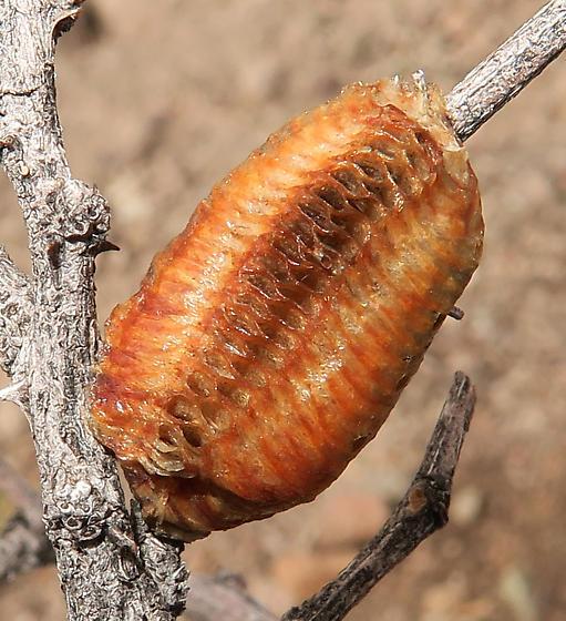 California Mantis egg case, parasitized