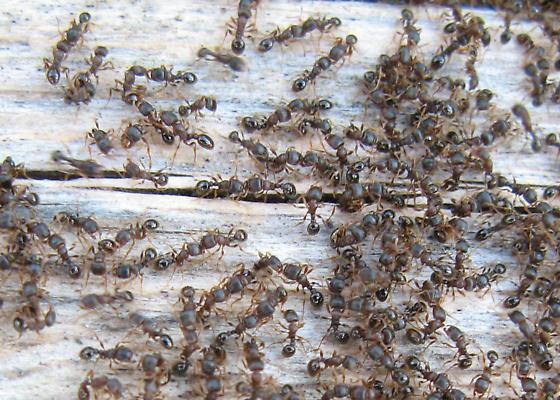 Small Brown Ants - Tetramorium immigrans