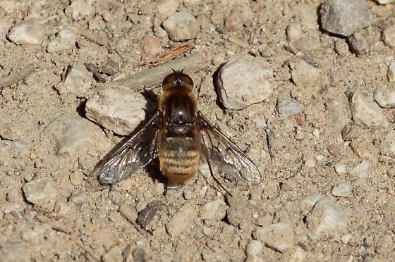 Pinnacles Bee Fly