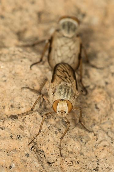 Threvids - Ammonaios confusus - male - female