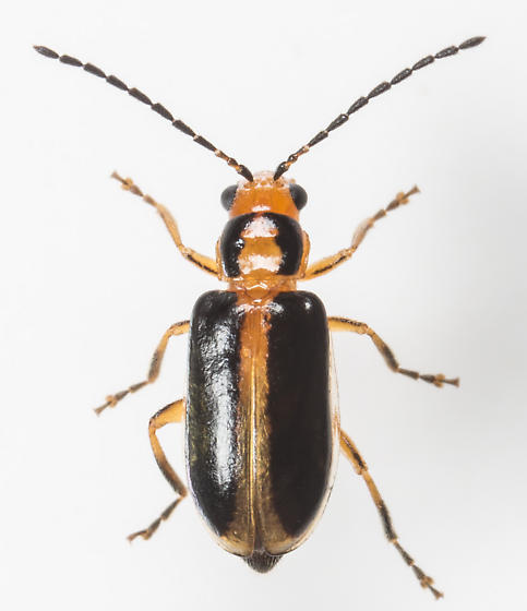 Beetle - Phyllecthris gentilis - female