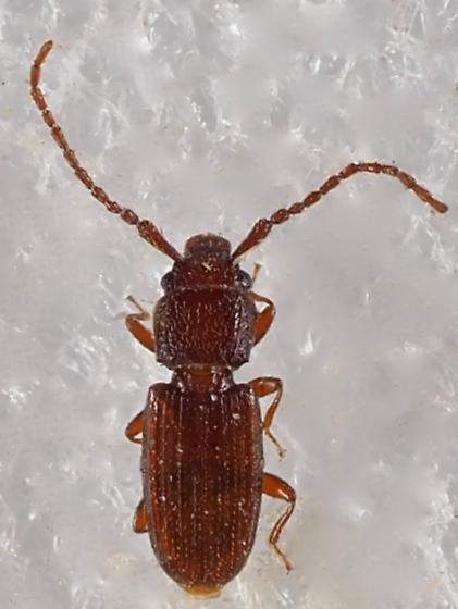 Unknown Beetle - Cryptolestes punctatus - male