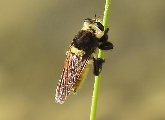 ? ? Syrphidae ? ? - Mallophora fautrix