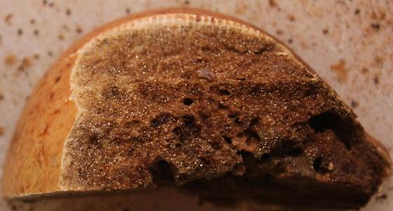 Larva found inside a gall - Andricus quercuscalifornicus