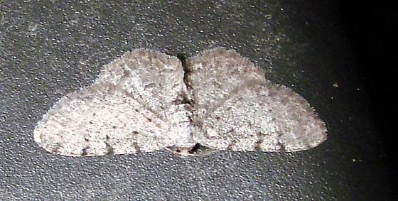 Gray Moth 1 - Aethalura intertexta