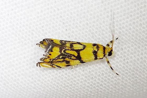 Yellow with Black marking moth - Diptychophora harlequinalis