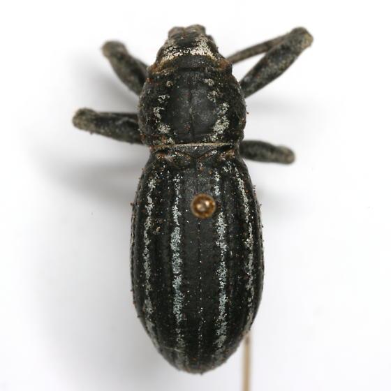 Ophryastes speciosus (LeConte) - Ophryastes speciosus
