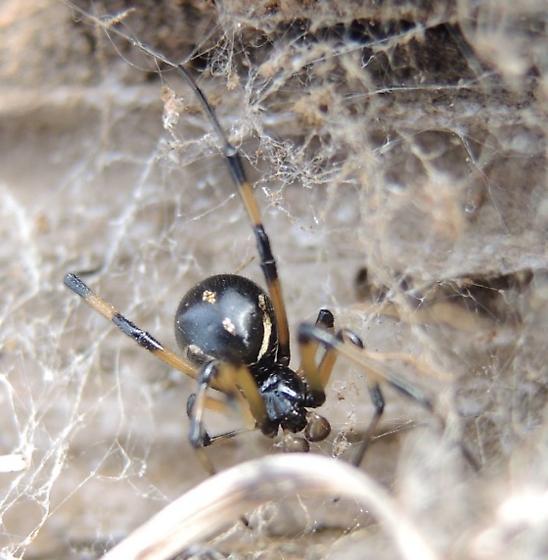 W. Black Widow 3 - Latrodectus hesperus