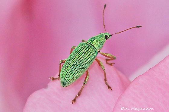 Pale Green Weevil - Polydrusus formosus