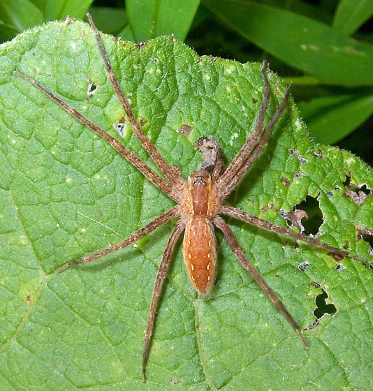 Nursery Web Spider - Pisaurina mira - female