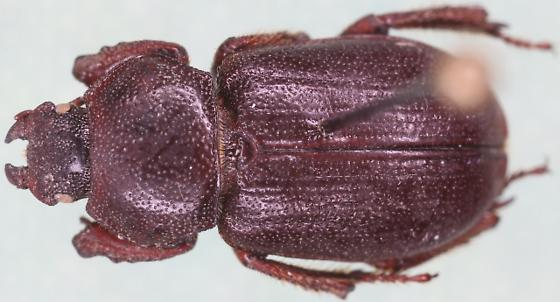 Platyceropsis ? - Platyceroides keeni