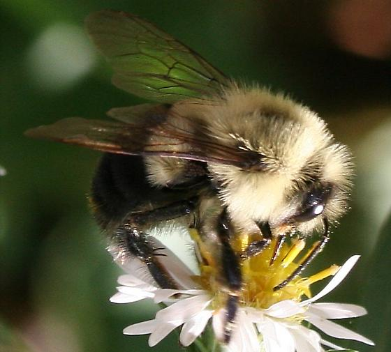 Bombus ID Request - Bombus impatiens - male