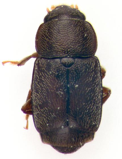 Nitidulidae, dorsal - Carpophilus brachypterus