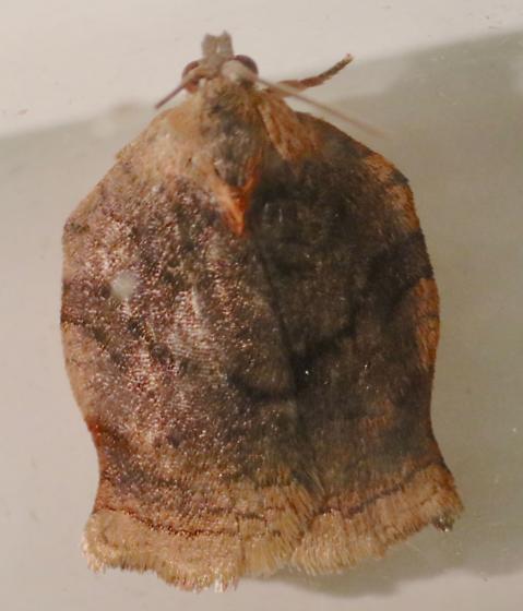 Archips - Archips purpurana