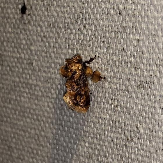 Spun Glass Slug Moth - Isochaetes beutenmuelleri