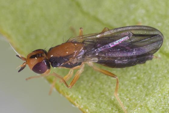 chloropidae - Psila