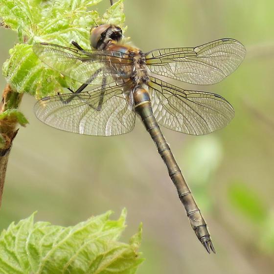 dragonfly9640 - Cordulia shurtleffii