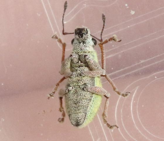 Curculionidae on Prosopis - Phacepholis elegans