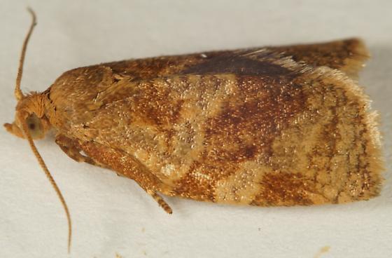 Choristoneura rosaceana? - Archips fuscocupreanus