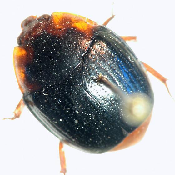 His*terid - Psilopyga nigripennis