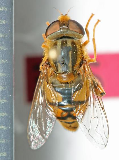 Syrphidae - Parhelophilus