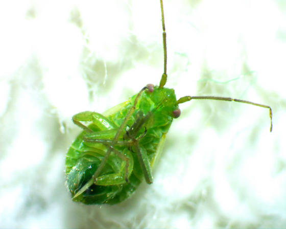 Green bug with short wings - Labopidea