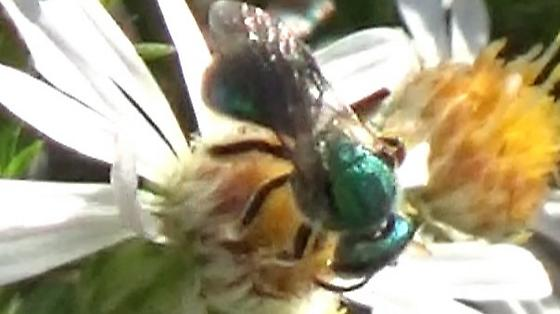 Green Bee or Fly on Hairy Asters