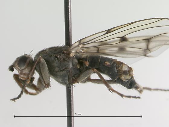 Dryomyzidae - Helcomyza mirabilis