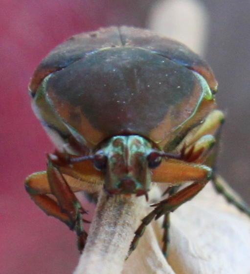 Beetle ID, please - Cotinis nitida