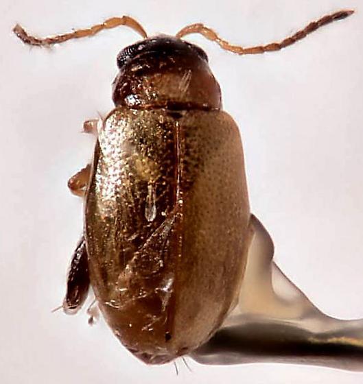 Alticini - Flea Beetle ? - Longitarsus