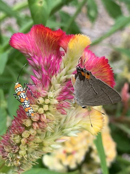 What kind of Hairstreak butterfly is this? - Strymon melinus