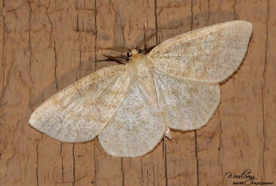 Yellow-dusted Cream - Hodges#6677 (Cabera erythemaria) - Cabera erythemaria - male