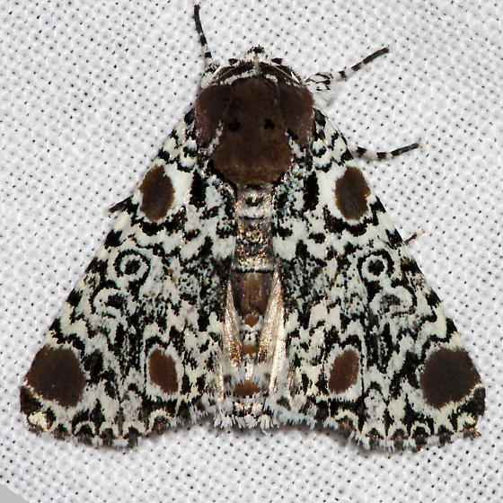 Harris's Three-spot Moth - Harrisimemna trisignata