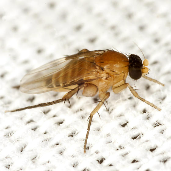 Scuttle Fly - Coniceromyia - female
