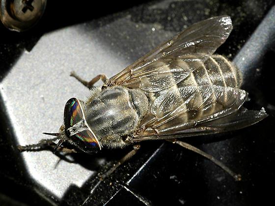 Fly maybe horse fly was on Eriogonum brevicaule - Hybomitra