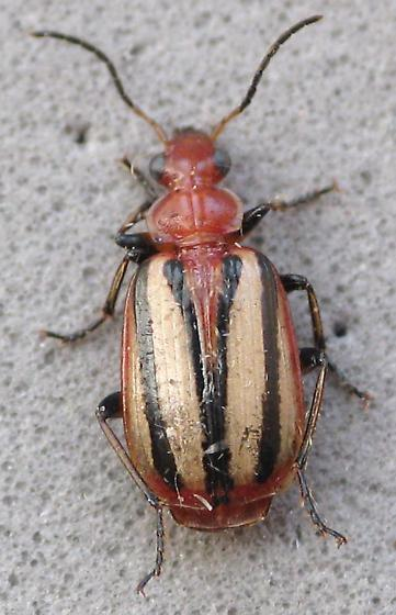Nice colors - Lebia vittata