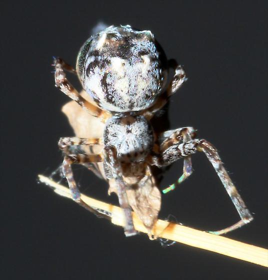 Orbweaver - Philoponella oweni - female