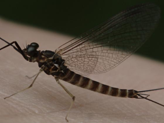 Mayfly - Siphlonurus occidentalis