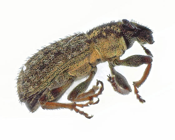 Some type of Anthribidae?  Very small   - Sitona hispidulus