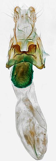 genitalia - Diarsia jucunda - female