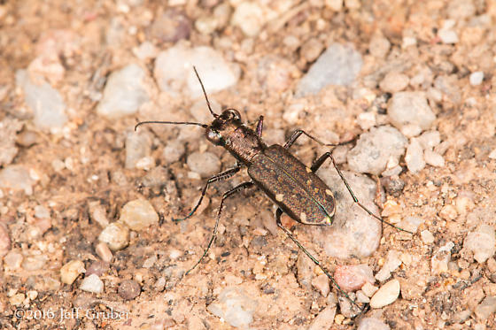 Tiger Beetle - Brasiella viridisticta